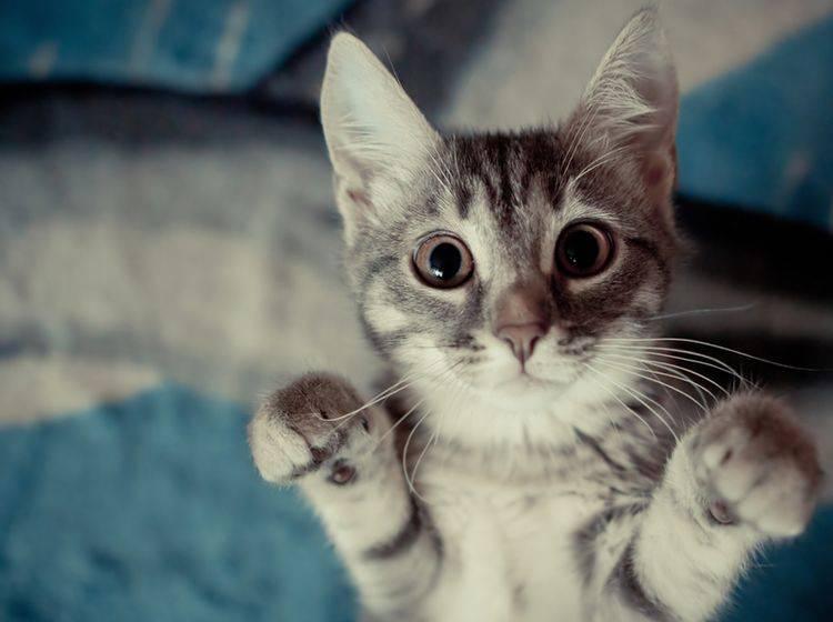 Auch Katze können Männchen machen lernen - Bild: Shutterstock / tribalmark