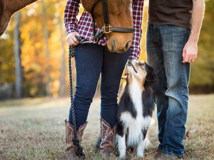 Mittelgroß, fit und ohne Jagdtrieb: Gute Vorraussetzungen für einen Reitbegleithund – Bild: Shutterstock / James R Lowe
