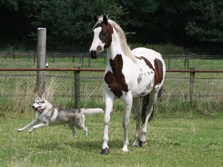 Mit ein paar Sicherheitsregeln klappt es zwischen Hund und Pferd – Bild: Shutterstock / fotografie4you