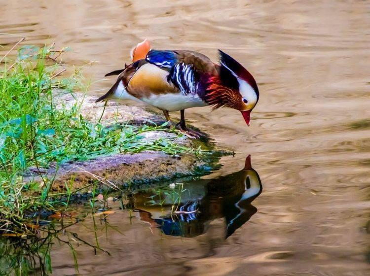 Ein bildhübsches Tier: Die Mandarinente kommt aus Ostasien – Bild: Shutterstock / Richard A McMillin