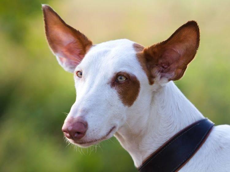 Als Haustier eine spannende Herausforderung: Der Podenco – Bild: Shutterstock / DragoNika
