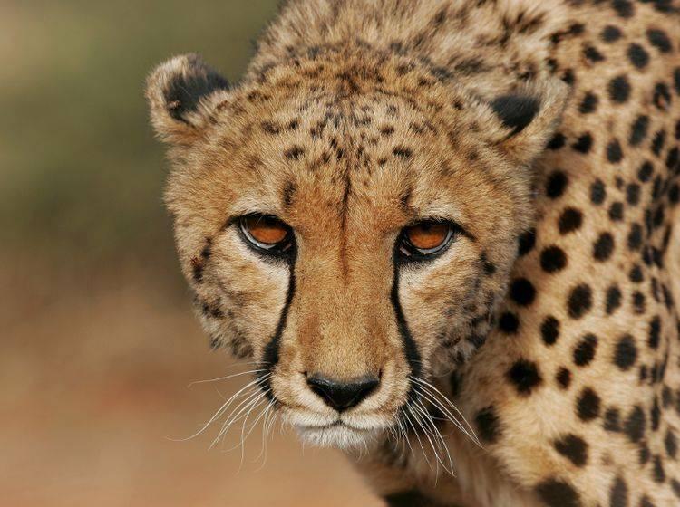 Schon der Blick eines Gepards kann sehr eindringlich und faszinierend sein – Bild: Shutterstock / Bildagentur Zoonar GmbH