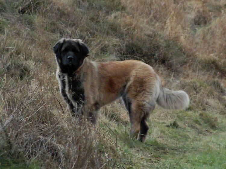 Germanischer Bärehund: Das dicke Fell braucht viel Pflege – Bild: Shutterstock / cc/Wikimedia/Besenstiel