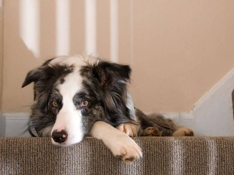 Wenn Ihr Hund Probleme beim Treppensteigen hat, könnte Arthritis die Ursache sein – Shutterstock / Steve Silver Smith