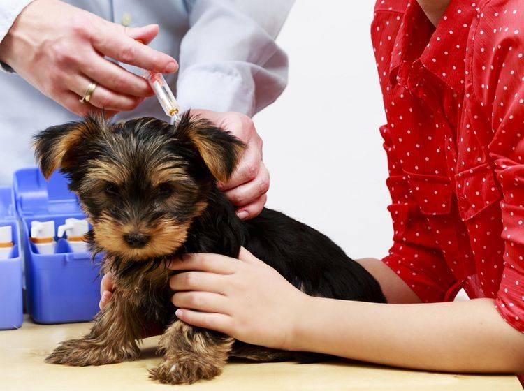 Das Einsetzen eines Mikrochips beim Hund hat viele Vorteile – Bild: Shutterstock / gorillaimages