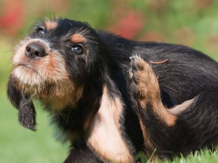 Wenn sich Ihr Hund ständig kratzt, kann eine Futterallergie schuld sein - Bild: Shutterstock / Christian Mueller