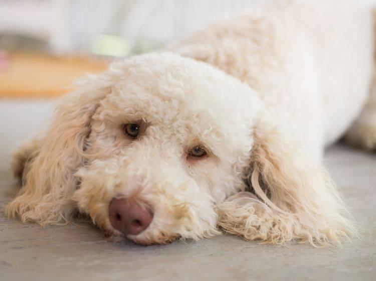 Lebererkrankungen beim Hund haben viele Gesichter – Shutterstock / Justin Sienkiewicz