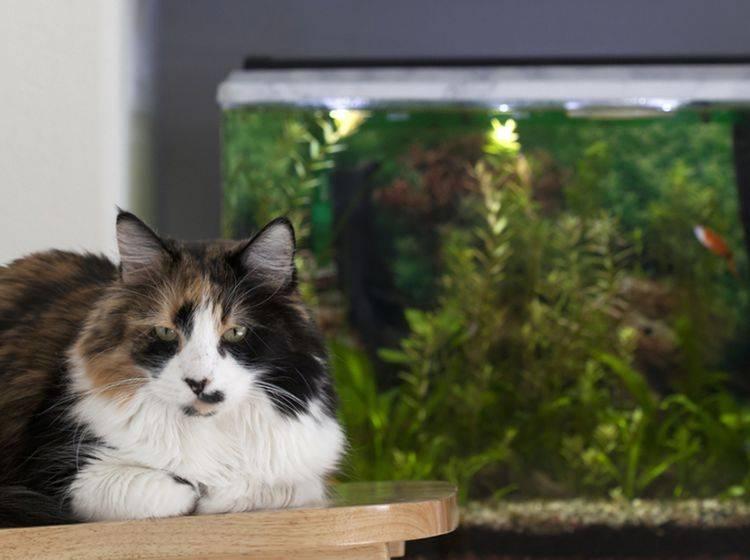 Katze und Aquarium harmonieren besser als man es erwarten könnte – Bild: Shutterstock / You Touch Pix of EuToch