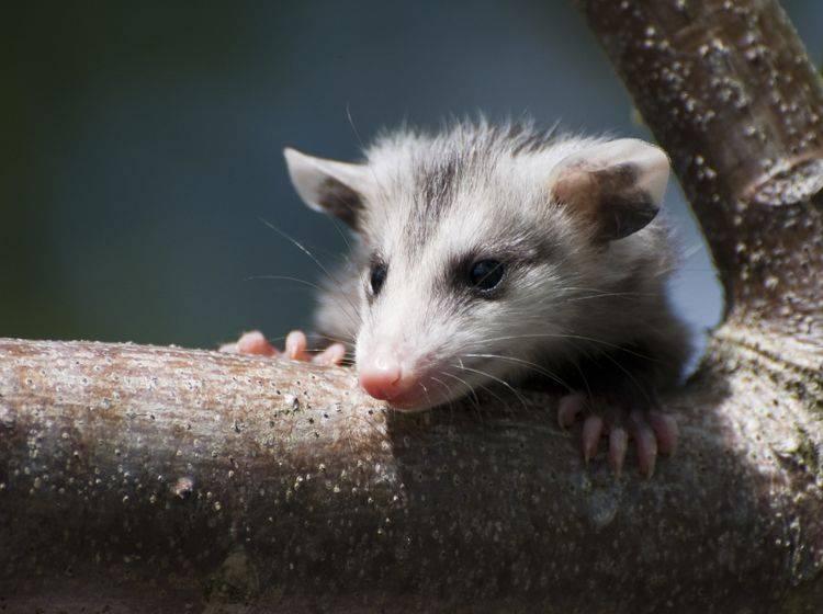 Opossums gehören zur Gattung der Beutelratten, die vorwiegend in Nordamerika zu finden sind – Bild: Shutterstock / Heiko Kiera
