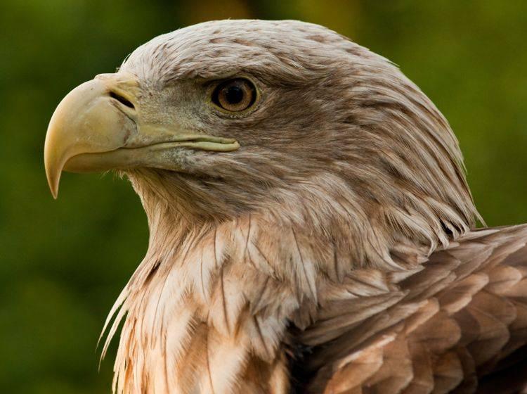 Der Seeadler ist einer der größten Greifvögel in Mitteleuropa – Bild: Shutterstock / piotrwzk