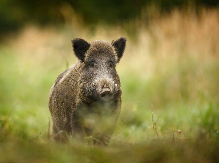 """""""Ich bin ein Wildschwein und gehöre zur Ordnung der Paarhufer!"""" – Bild: Shutterstock / Neil Burton"""