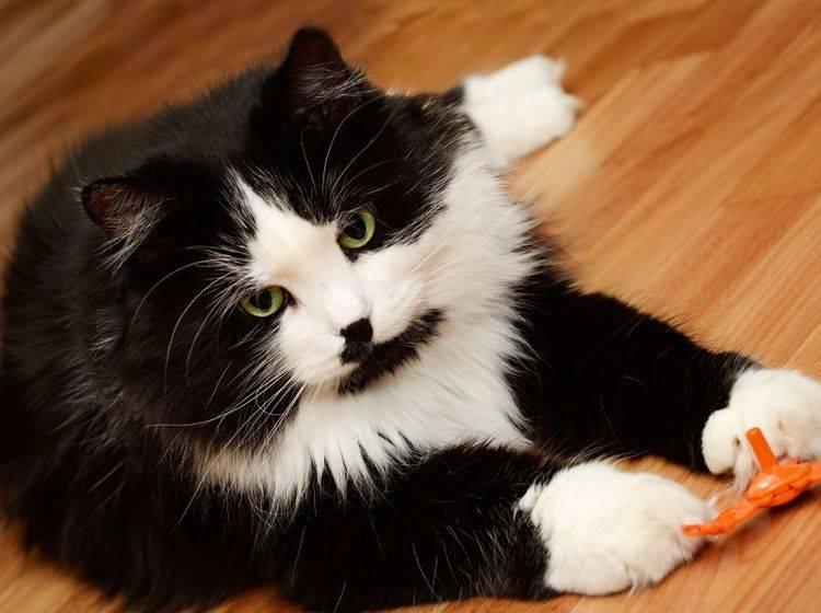 Alte Katzen gehen es beim Spielen gerne gemütlich an – Bild: Shutterstock / Ortis1