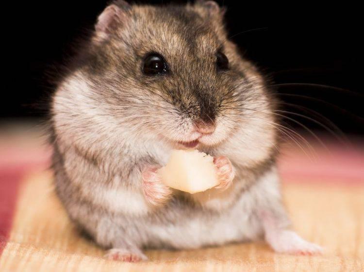Futter, Snacks und Vitamine für den Hamster – Bild: Shutterstock / MilousSK