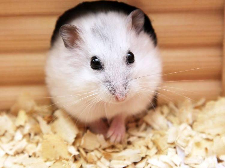 Den Hamsterkäfig einstreuen: Das brauchen Sie dafür – Bild: Shutterstock / AlexKalashnikov