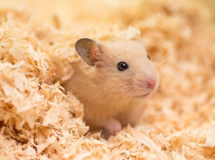 Hamsterkäfig: Tipps für die Auswahl und Einrichtung – Bild: Shutterstock / stock_shot