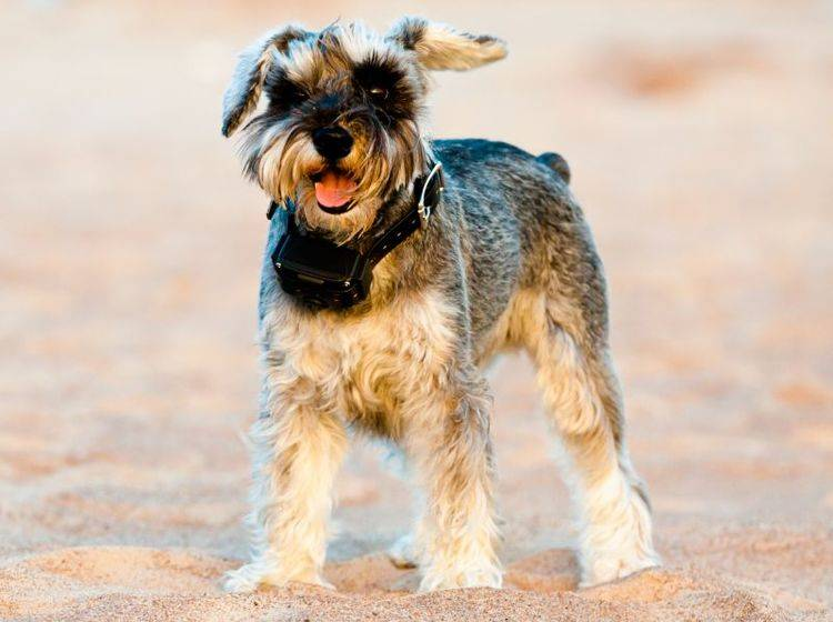Hunde mit GPS orten: Passende Halsbänder – Bild: Shutterstock / Aleksey Klints