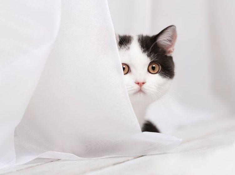 Mit ein paar Tipps halten Sie Katzen von Gardinen fern – Bild: Shutterstock / Vasilyev Alexandr