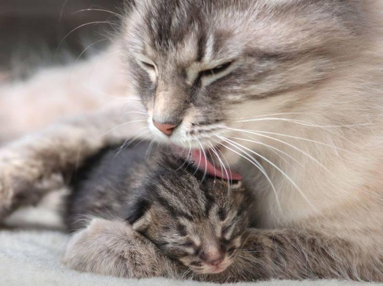 In den ersten Wochen pflegt die Katzenmama ihre Babys – Bild: Shutterstock / Smit