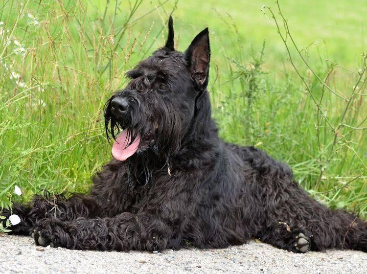 Hund mit einem spannenden Charakter: Der Riesenschnauzer – Bild: Shutterstock / Marcel Jancovic