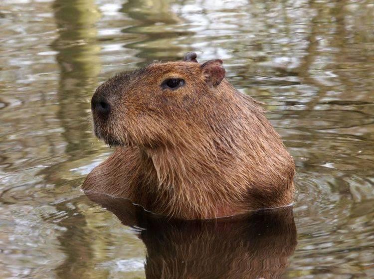 Ganz schön groß: Bis zu 60 cm Schulterhöhe erreicht das Capybara – Bild: Shutterstock / EBFoto