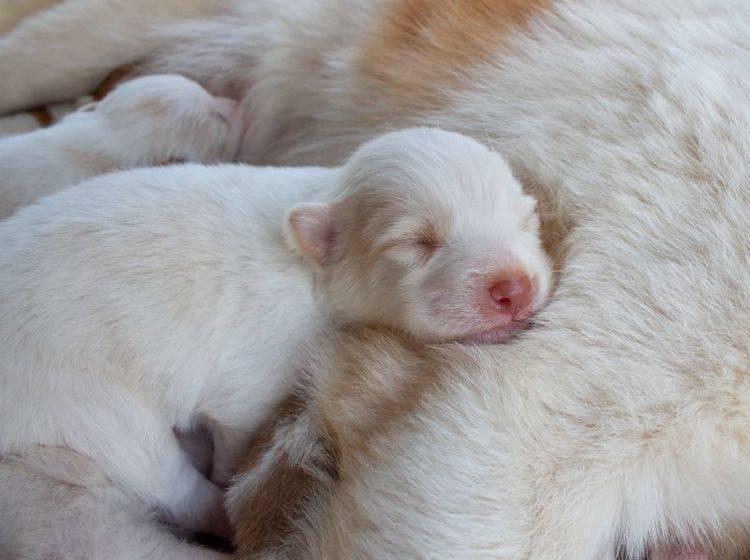 Kuschelzeit: In den ersten Wochen sind Hundewelpen nur bei ihrer Mutter – Bild: Shutterstock / CHANARAT