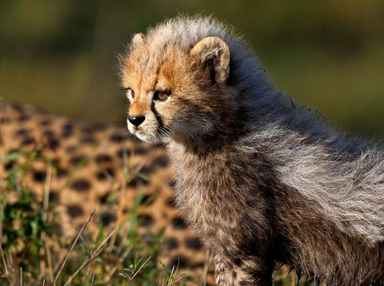 Süß: Ein Gepardenbaby schaut sich genau an, was in der Ferne vor sich geht – Bild: Shutterstock / Maggy Meyer