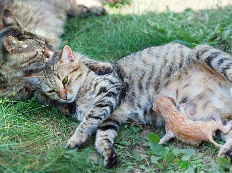 Eine Katzenmama weiß von Natur aus ganz genau, was sie während der Geburt zu tun hat – Shutterstock / vvvita