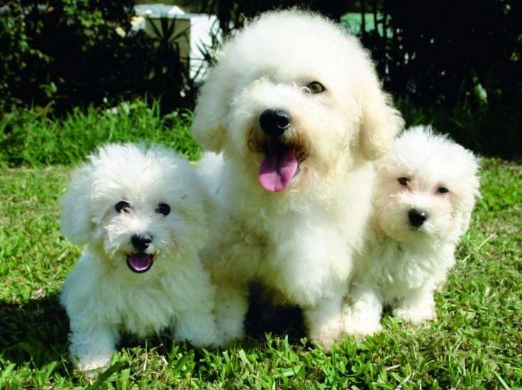 Kleines flauschiges Familienglück: Eine Bichon-Frisé-Hundemama mit Nachwuchs – Bild: Shutterstock / pixshots