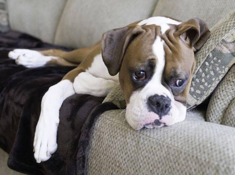 Für einige Krankheiten ist der Boxer genetisch bedingt anfällig – Shutterstock / Tony Moran