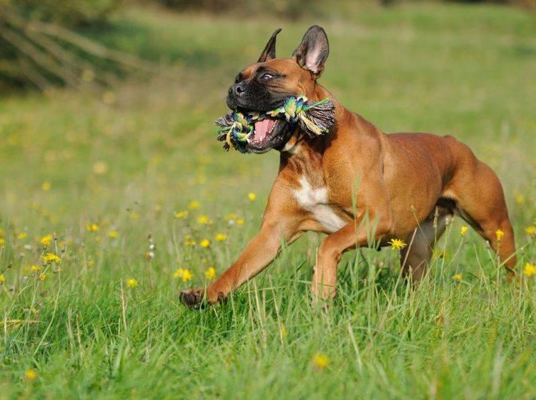 Ein Tauspielzeug eignet sich wunderbar, um den Boxer zu beschäftigen – Shutterstock / AnetaPics