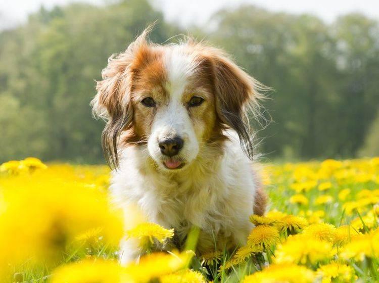 Allergien bei Hunden können die verschiedensten Auslöser haben – Bild: Shutterstock / Burry van den Brink