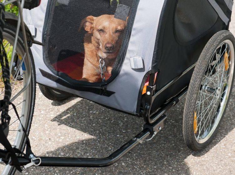Praktisch: Fahrrad-Anhänger für Hunde – Bild: Shutterstock / Ivonne Wierink