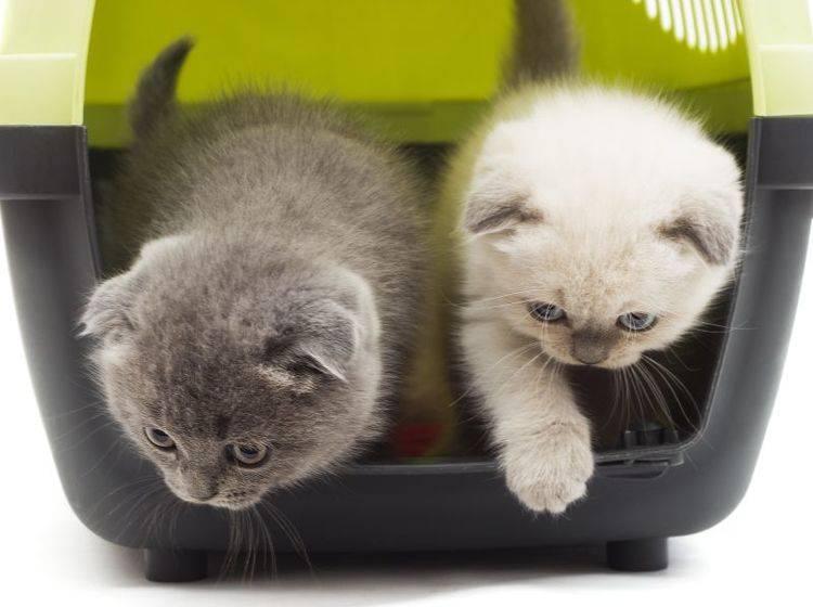 Eine Möglichkeit um Streit zu vermeiden: Nehmen Sie beide Katzen mit zum Tierarzt – Shutterstock / gurinaleksandr