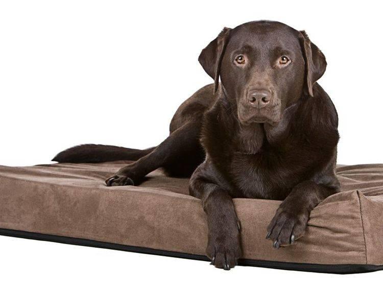 Schonend für die Gelenke: Orthopädisches Hundebett – Bild: Shutterstock / JPagetRFPhotos