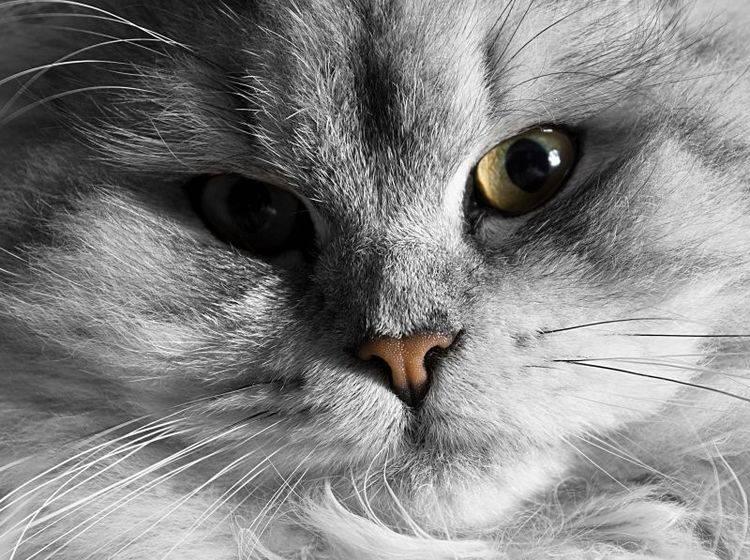 Der Augenbereich der Katze sollte stets schön sauber und gepflegt sein – Bild: Shutterstock / SSokolov