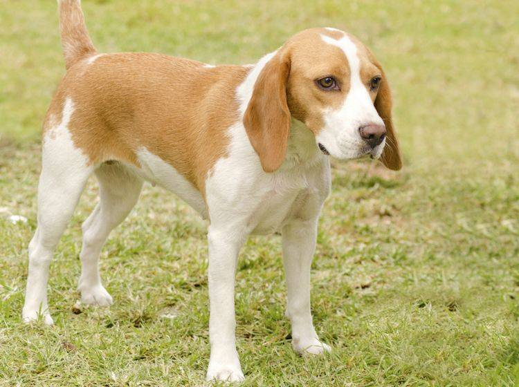 Beagle-auf-Wiese-Shutterstock-f8grapher