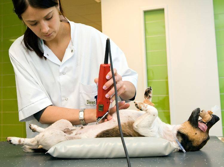 Bei einer Magendrehung muss der Hund meist operiert werden – Bild: Shutterstock / Robert Hoetink