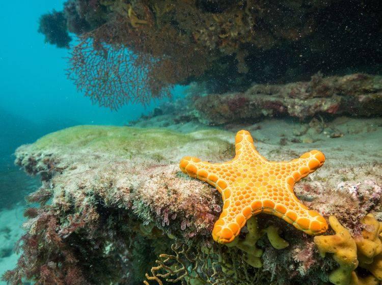 Dieser Seestern zeigt sich im Meer in seiner strahlenden gelben Farbe – Bild: Shutterstock / Jarrod Boord
