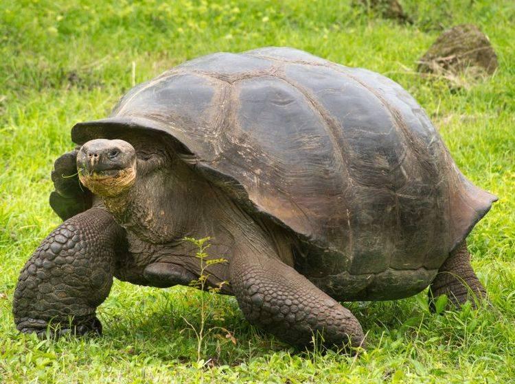Galápagos-Riesenschildkröte: Bis zu 15 Unterarten werden zu ihr gezählt – Bild: Shutterstock / Fotos593