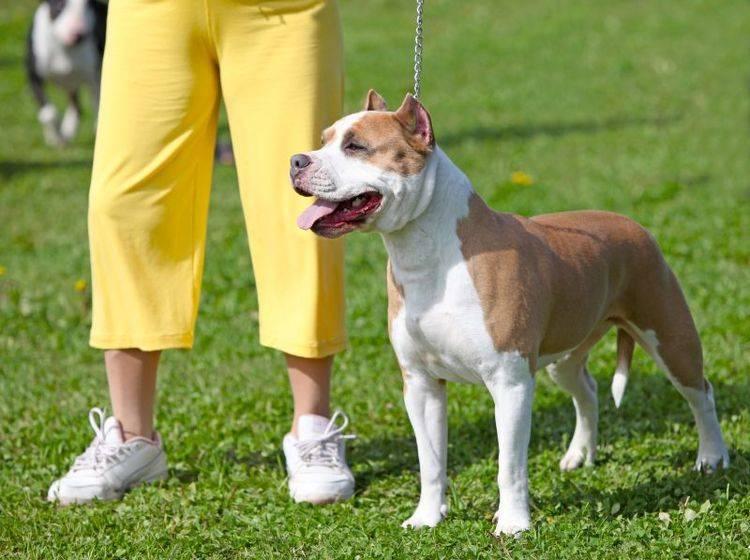 Ein Teil der Begleithundeprüfung wird auf dem Hundeplatz durchgeführt – Shutterstock / mdmmikle