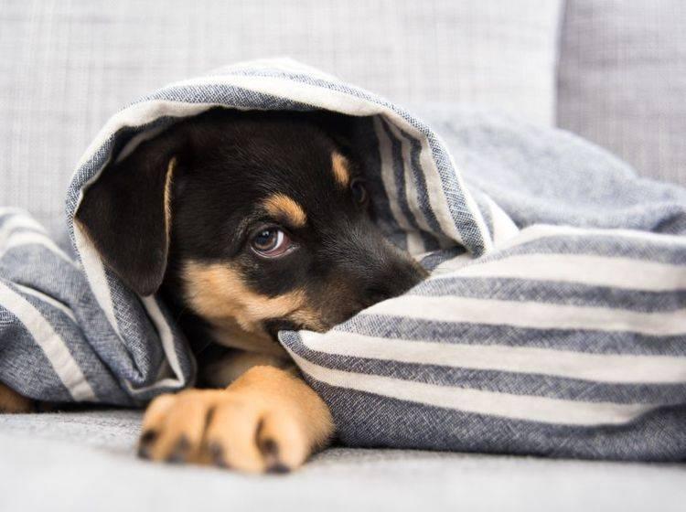 Viele Hunde fühlen sich bei Gewitter sicherer in einem Versteck – Bild: Shutterstock / Anna Hoychuk