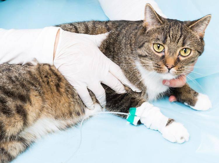 Eine Bauchspeicheldrüsenentzündung muss vom Tierarzt behandelt werden – Bild: Shutterstock / bmf-foto.de