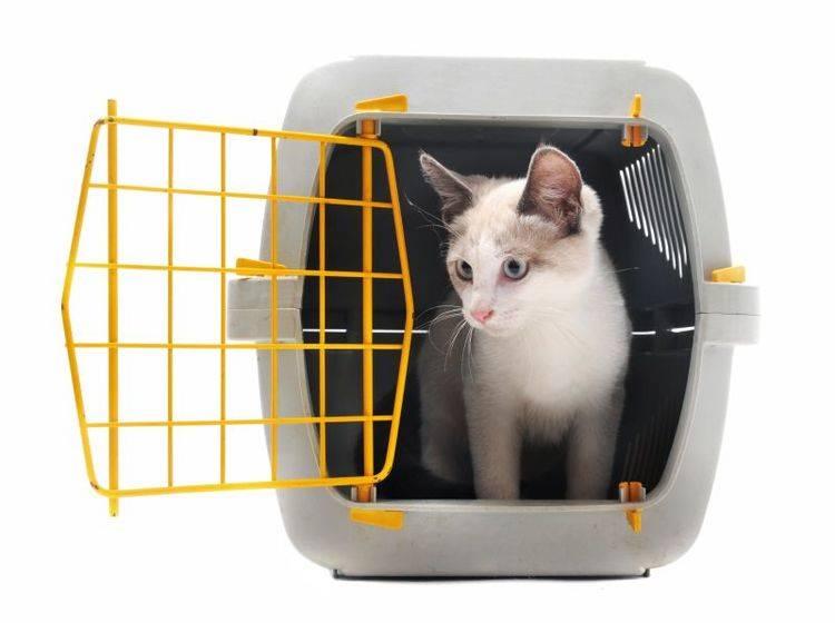 Katzen aus dem Ausland reisen oft mit Flugpaten an – Shutterstock / cynoclub