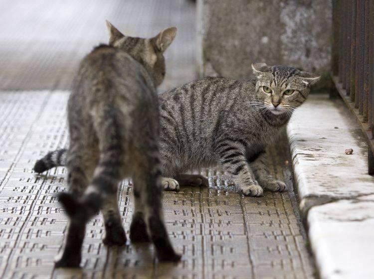 Mobbing ist für die unterlegende Katze unangenehm und mitunter auch gefährlich – Bild: Shutterstock / Tomasz Pado