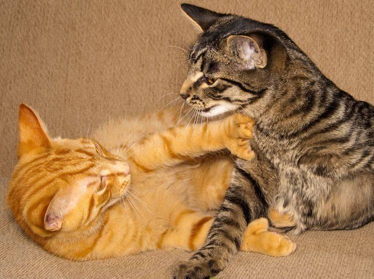 Ständige Attacken auf den Artgenossen: Auch unter Katzen gibt es Mobbing – Bild: Shutterstock / karamysh
