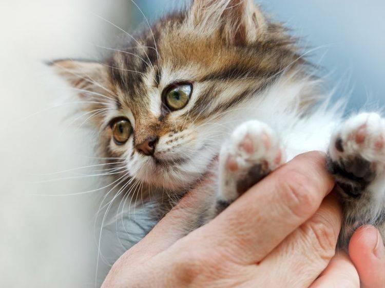 Katzen brauchen nur in Ausnahmefällen Unterstützung bei der Krallenpflege – Shutterstock / lola1960