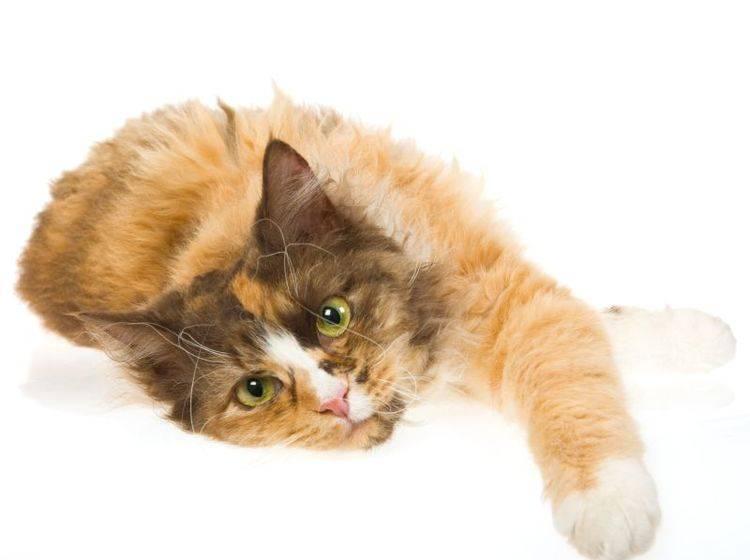 Eine ruhige, anhängliche Katze: Die LaPerm – Bild: Shutterstock / Linn Currie