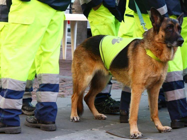 Mantrailer kommen zum Beispiel in Rettungsmannschaften zum Einsatz – Bild: Shutterstock / Tatagatta