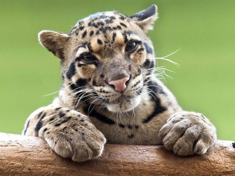 Der Nebelparder: Ein bildhübsches Tier mit Ähnlichkeit zum Leoparden – Bild: Shutterstock / Nazzu