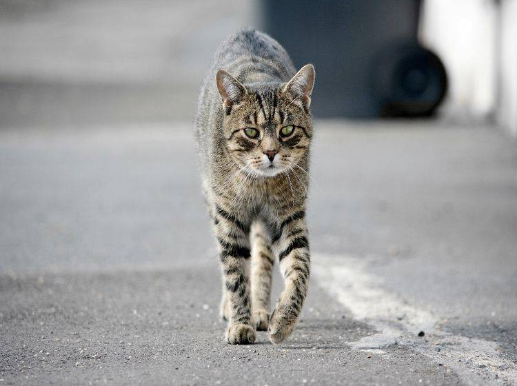 Wie lässt sich eine entlaufene Katze wiederfinden? – Shutterstock / DavidTB